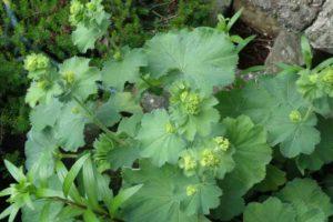 Alchemills Mollis in flower