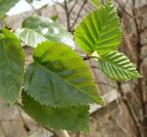 Betula utilis var. jacquemontii foliage