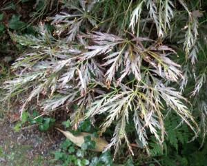 Acer palmatum var. dissectum 'Garnett' foliage
