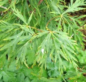 Acer palmatum var. dissectum foliage
