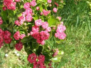 Crataegus laevigata 'Paul's-Scarlet' flowers