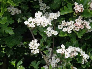 Crataegus monogyna flowers