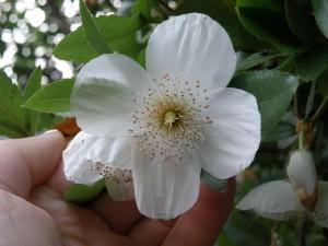 Eucryphia x nymansensis 'Nymansay' flower