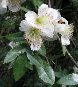 Eucryphia glutinosa flowers