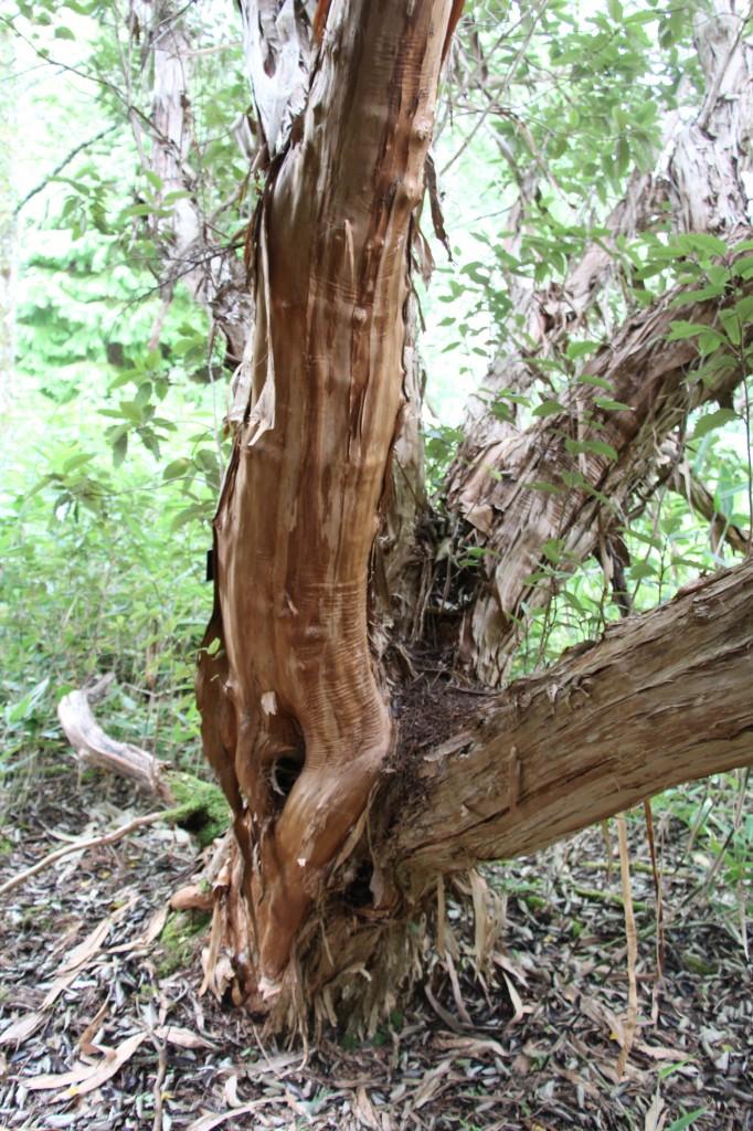 Olearia macrodonta bark