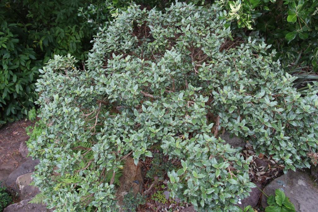 Olearia macrodonta 'Minor'
