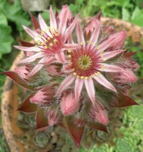 Sempervivum cultivar