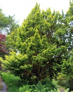 Taxus baccata 'Elegantissima'