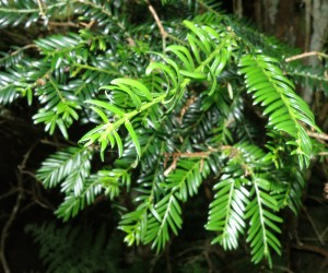 Taxus baccata foliage