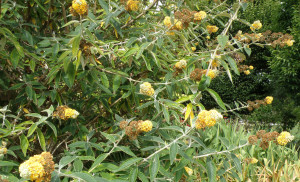 Buddleja x weyeriana 'Honeycomb'