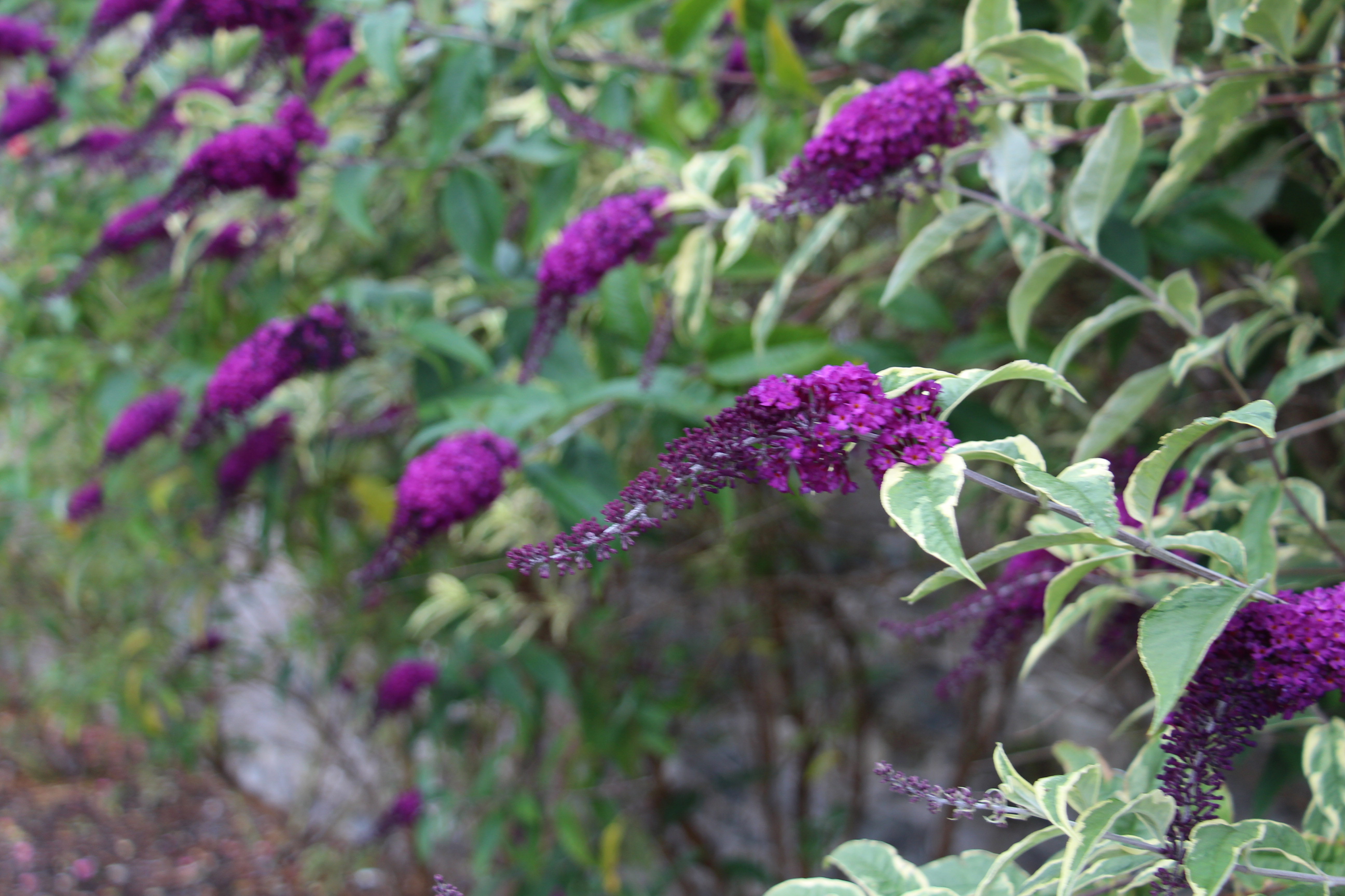 Цветок буддлея давида смесь окрасок фото