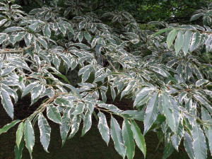 Castanea sativa 'Albomarginata' foliage