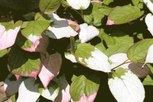 Actinidia kolomikta foliage