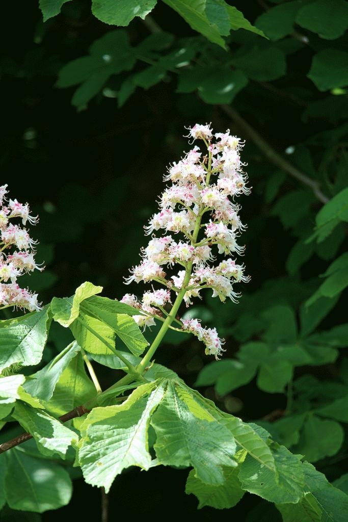 Aesculus hippocastanum flower