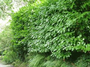 Prunus laurocerasus foliage
