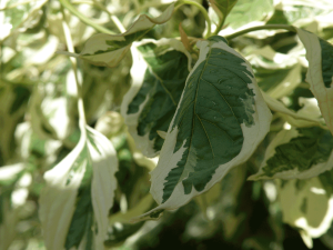 Cornus controversa 'Variegata' foliage close up